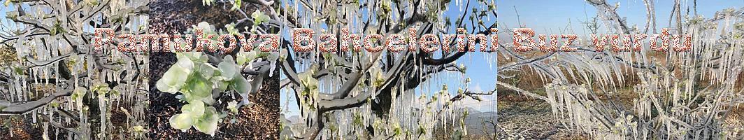 Pamukova Bahçelerini buz vurdu.