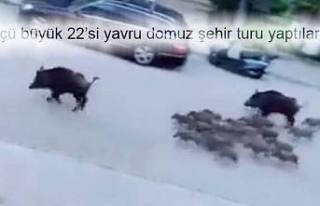 Marmaris'de tur atan domuz sürüsü görenleri...