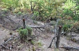 Keçileri için 34 meşe ağacını kesen çobana...