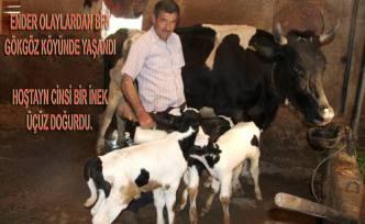 Gökgöz köyünde bir inek üçüz doğurdu.