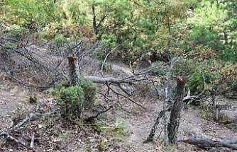 Keçileri için 34 meşe ağacını kesen çobana 12 bin lira ceza!