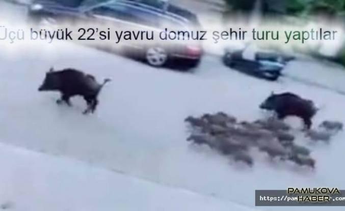 Marmaris'de tur atan domuz sürüsü görenleri şaşırttı