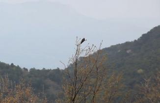 Guguk kuşu böyle ötüyor.